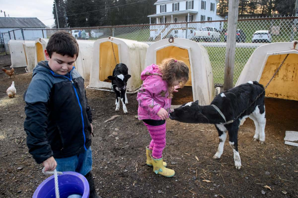 "Anthony carries a bucket of feed as Nellie gets a lick from a baby calf as they do daily chores in Jan. ""Lots of farms are going under. We're taking it day by day. We're by no means safe still,"" said their mother, Mary Beth Brown, about the family's struggle to keep their farm going."