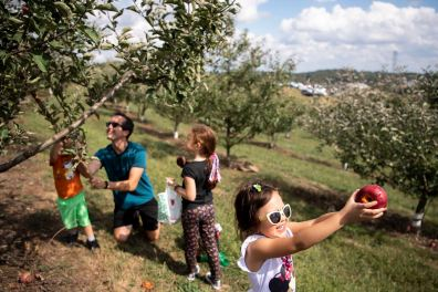 Maria Capor, 5, of Canonsburg, right, offers her mother Katie, not pictured, a bite of a fresh-picked apple, while her siblings Patrick, 3, and Josie, 7, help their father David pick more apples from the orchard at Simmons Farm, Monday, Sept. 28, 2020, in McMurray. (Alexandra Wimley/Post-Gazette)