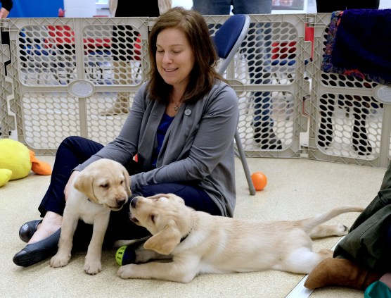 Supplemental Staffing puppy sponsor Cristie McKenzie pets Labrador Retrievers during a Special Auxiliary Play Date for invited guests at the Ability Center in Sylvania. THE BLADE/LORI KING
