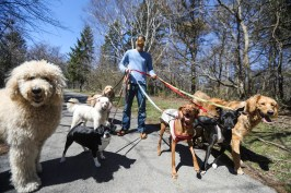 Andrew DeWitt laughs as he walks 7 dogs at Ottawa Park in Toledo, Ohio on Monday April 15, 2019. DeWitt started a dog walking service 5 years ago to make some easy money. THE BLADE/REBECCA BENSON CTY Rover