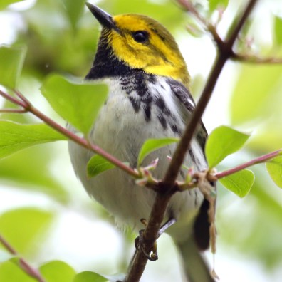 A black-throated green warbler seen during the at first day of The Biggest Week in American Birding at the Magee Marsh Wildlife Area in Oak Harbor, Ohio, on Friday, May 3, 2019. THE BLADE/KURT STEISS
