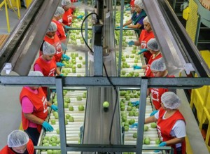 "Gargiulo employees process the annual production of about 1.5 million 25-pound boxes, or 37.5 million pounds of ""beefsteak"" and ""homegrown"" tomatoes."