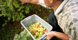 Walmart Puerto Rico purchases from more than 500 local farmers to supply its local stores.