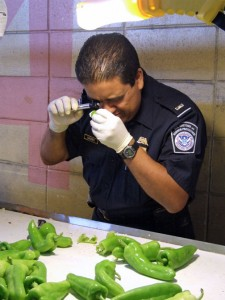 """A U.S. Customs and Border Patrol inspector checks for """"Medfly"""" bugs in imported peppers."""