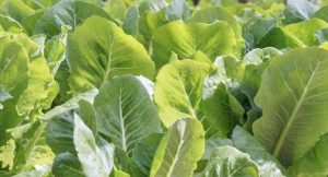 Local farmers will be providing a variety of produce for Ponderosa, including Romaine lettuce.