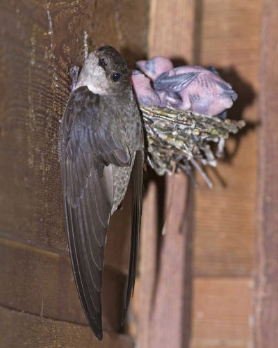 chimney swift nest