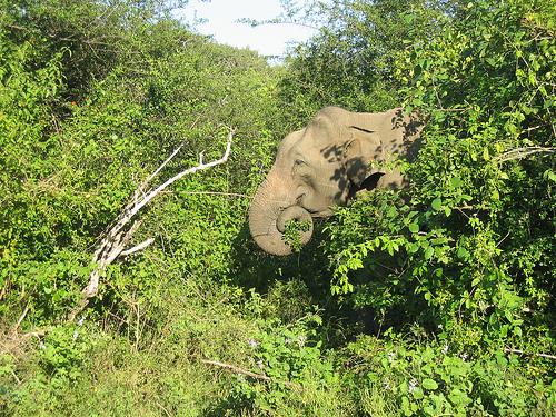 Wild elephant at Yala, Sri Lanka