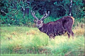 Sambur at Horton Plains
