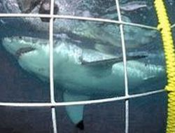 Scuba-Diving-or-Snorkelling-with-Great-White-Sharks-in-South-Africa-2