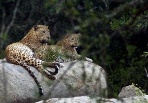 leopardsyala_mithra
