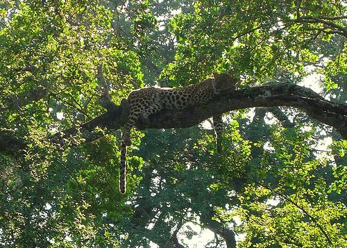leopardyala_shrinkydinky