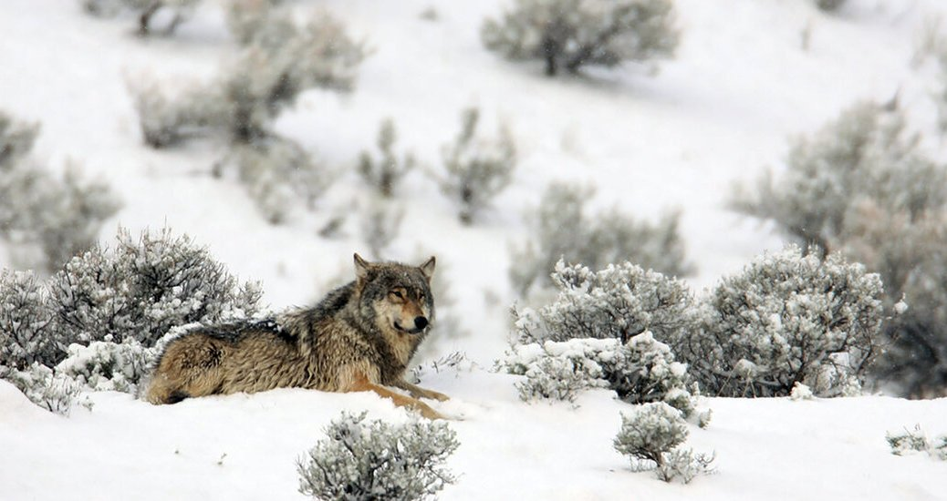 Montana Governor Gets Written Warning After Killing a Wolf