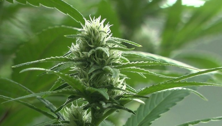 Medical marijuana expansion bill gets initial approval from Texas House