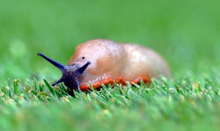 Gardening expert shares simple 'biological' method to remove slugs from your garden