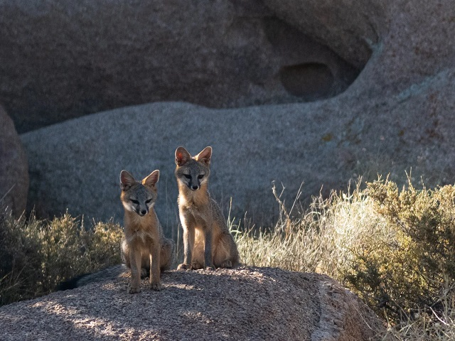 Gray foxes use black bears