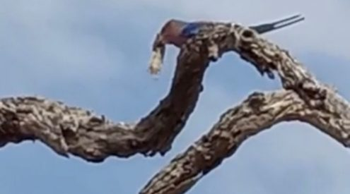 WATCH: Lilac Breasted Roller feasting on mouse