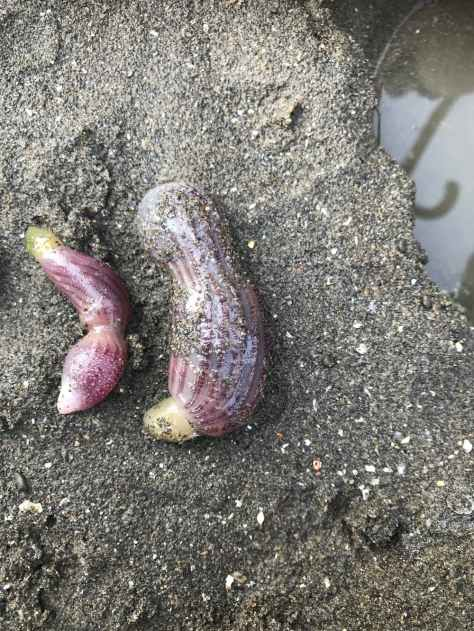 There are an estimated 236 species of penis worm. (Rogerl Josh/iNaturalist/CC BY-NC)