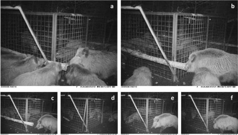 A group of boars work together to free captive boars from a cage.