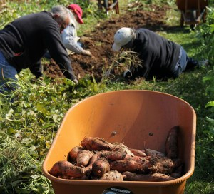 Potato harvest at Little Portion Farm