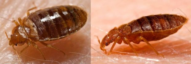 facts-about-bedbugs