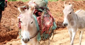 karamoja and donkey