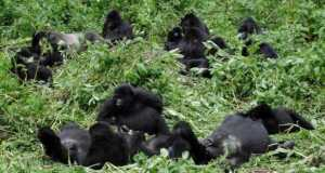 grace and gorillas