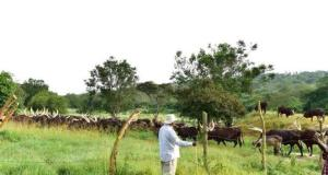 museveni and cattle