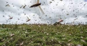 desert locusts in Uganda