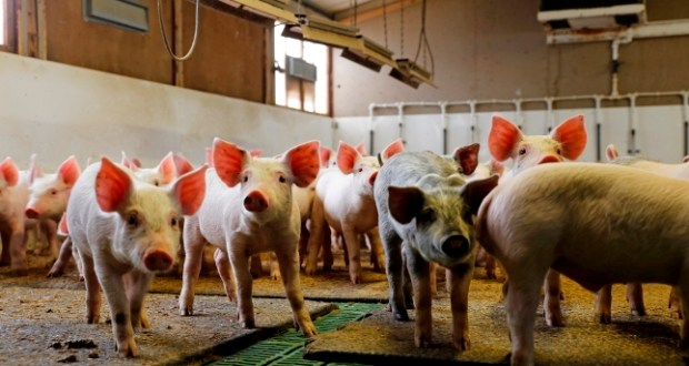 new strain of flu emerges in pigs