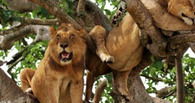 UWA Puts Shs 10m Bounty On National Park Lion Killers