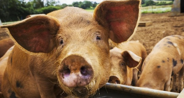 2 Thieves Collapse, After Stealing An Old Woman's Pig