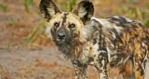 The African Painted Dog Surfaces Again In Uganda