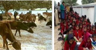 उत्तर प्रदेश में गाय इतनी ज्यादा हो गई है कई शहरों में लोगों ने स्कूलों और अस्पताल में ही गायों को बांध दिया है।