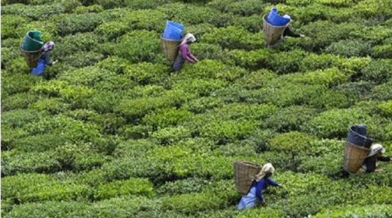 पहाड़ों में चाय की खेती लोगों को रोजगार के भरपूर मौके दे रही है। प्रवासी मजदूरों के लिए भी ये रोजगार का अच्छा साधन बन सकती है।
