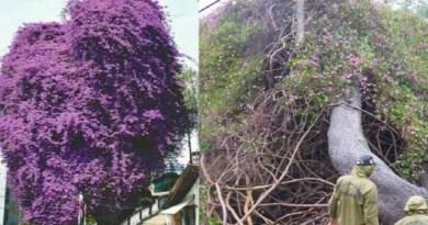 अल्मोड़ा के भारत रत्न पंडित गोविंद बल्लभ पंत के माल रोड स्तिथ पार्क में 300 वर्ष पुराना देवदार और बोगनवेलिया का पेड़ भारी बारिश की वजह से गिर गया।
