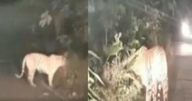 उत्तराखंड: शाम को सड़कों पर घूमती दिखी बाघिन, सुबह गाय को बनाया निवाला, दहशत में लोग!