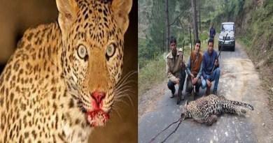 पिथौरागढ़: पकड़ में नहीं आ रहा आदमखोर गुलदार, अब वन विभाग ने मारने की मांगी अनुमति