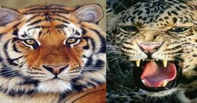 रामनगर: बाघ और गुलदार ने दो युवकों पर किया हमला, अस्पताल में भर्ती, इलाके में दहशत!