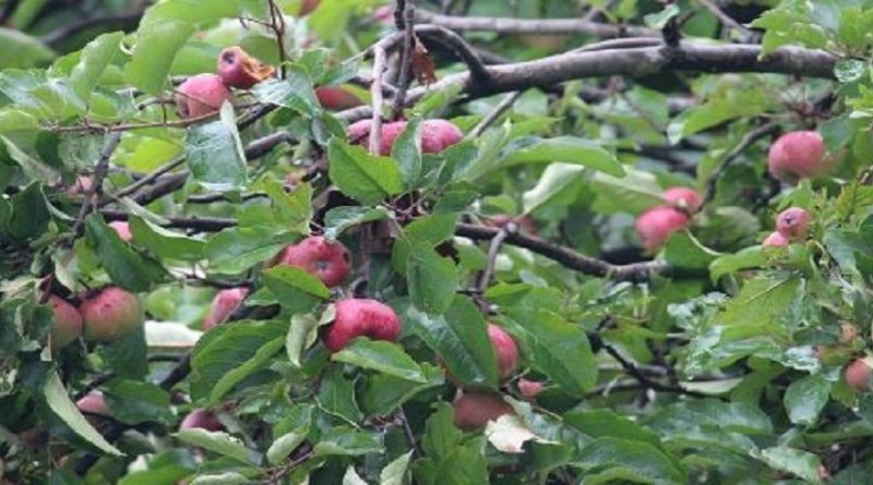 हिमाचल की तर्ज पर अब अल्मोड़ा में भी उन्नत प्रजाति के सेब की बागबानी होगी। शहर के पहाड़ी इलाकों में पौधो को विकसित करने में उद्यान विभाग जुटा हुआ है।