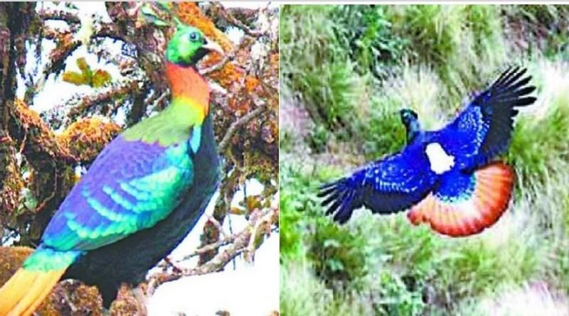 उत्तराखंड के राज्यपक्षी मोनाल के बारे में तो आप जानते ही होंगे। अब ये पक्षी मोनाल धीरे-धीरे अपना ठिकाना बदल रहे हैं। इसकी बड़ी वजह है जंगलों में जूनिपर झाडिय़ों का कम होना है