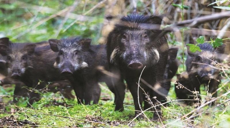 पौड़ी गढ़वाल के रिखणीखाल ब्लॉक में जंगली सूअरों का लगातार आतंक देखने को मिल रहा है। जंगली सूर फसलों को बर्बाद कर रहे हैं, जिससे ग्रामीण परेशान हैं।