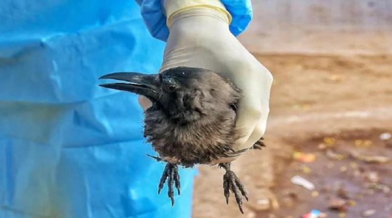 प्रदेश के कई जिलों में पक्षियों के मरने के मामले लगातार सामने आ रहे हैं। अब चमोली में दो मरे हुए पक्षी मिले हैं। जोगीधार के पास बदरीनाथ हाईवे के किनारे एक कौवा मरा हुआ मिला।