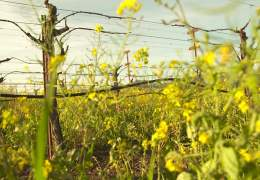 Wild Mustard in the Vineyards