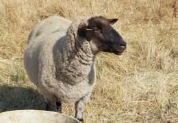 Sheep help restore Laguna de Santa Rosa
