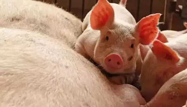 assam govt to kill 12000 pigs in order to curb african swine flu