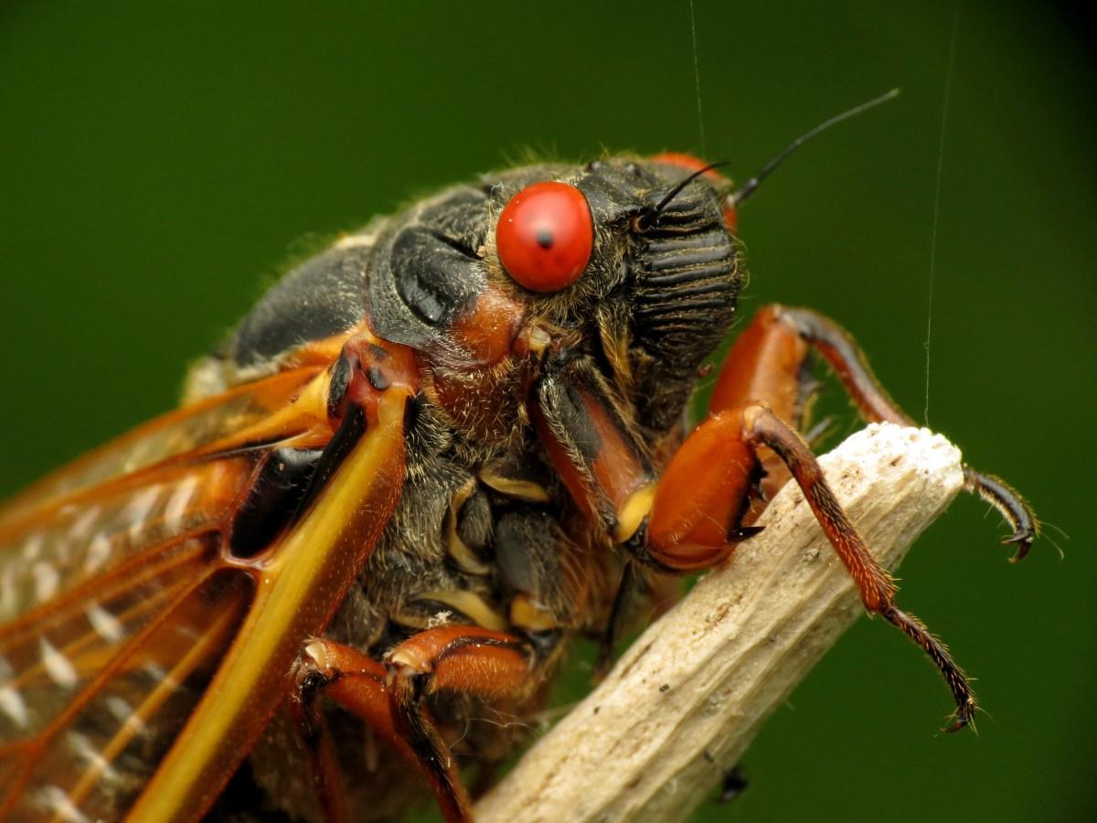 A Brood X cicada.