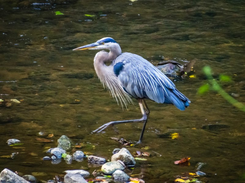 Howard Youth will discuss his Field Guide to the Natural World of Washington, D.C. This image of a blue heron in Rock Creek Park is an example.