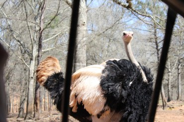 An ostrich ruffling it's feathers