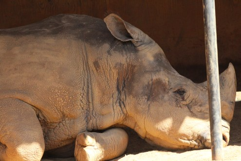 A white rhinoceros lays in the comfort of it's shade.
