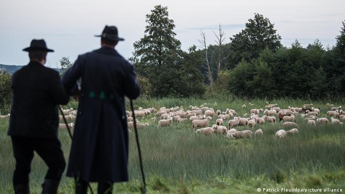 Two men watch sheep in 2017